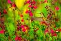 Картинка природа, птица, колибри, цветы
