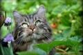 Картинка кот, взгляд, природа
