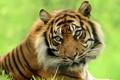 Картинка взгляд, тигр, красавец