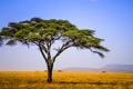 Картинка небо, холмы, поле, Танзания, Африка, дерево, леопард