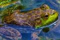 Картинка природа, глаза, вода, лягушка