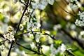 Картинка весна, май, вишня, природа, ветка, макро, цветы