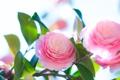 Картинка листья, розовая, нежность, лепестки, бутон, цветение, камелия