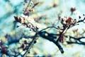 Картинка небо, макро, деревья, цветы, природа, вишня, ветви
