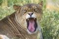 Картинка язык, кошка, морда, львица, ©Tambako The Jaguar