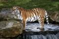 Картинка хищник, дикая кошка, зоопарк, амурский тигр