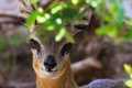 Картинка глаза, взгляд, листва, антилопа