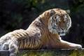 Картинка кошка, взгляд, тигр, амурский, ©Tambako The Jaguar