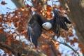 Картинка осень, дерево, птица, полёт, Белоголовый орлан
