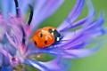 Картинка цветок, божья коровка, жук, насекомое