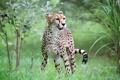 Картинка поза, хищник, гепард, дикая кошка