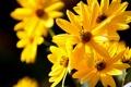 Картинка макро, желтые, цветочки