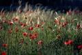 Картинка пшеница, лето, трава, Маки, колосья