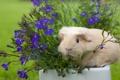 Картинка цветы, морская свинка, лобелия