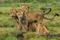 Картинка хищники, котята, львята