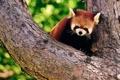 Картинка дерево, панда, кора, firefox, красная, боке, злая