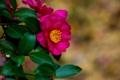Картинка цветок, листья, ветки, алый, кустарник, камелия