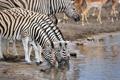 Картинка природа, водопой, зебры