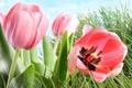 Картинка трава, листья, тюльпаны