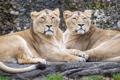 Картинка кошки, пара, львы, львицы, ©Tambako The Jaguar