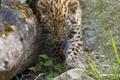 Картинка кошка, трава, камни, леопард, детёныш, котёнок, амурский