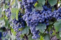 Картинка природа, еда, виноград