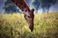 Картинка язык, морда, растения, завтрак, жираф, Африка, шея