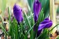 Картинка весна, синие, крокусы