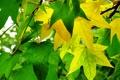 Картинка осень, листья, амбровое дерево