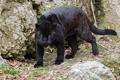 Картинка хищник, мощь, пантера, ягуар, дикая кошка