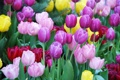 Картинка тюльпаны, разноцветные, клумба