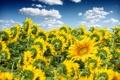 Картинка поле, небо, облака, подсолнухи, цветы