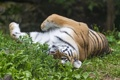Картинка кошка, трава, тигр, отдых, амурский, ©Tambako The Jaguar
