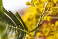 Картинка цветок, макро, мимоза