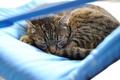 Картинка кошка, спит, полосатая, photographer, Giovanni Zacche