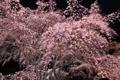 Картинка природа, цветение, сакура, дерево