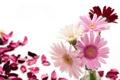 Картинка цветы, фото, лепестки, герберы