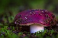 Картинка лес, макро, гриб, мох, Сыроежка