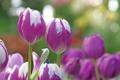 Картинка природа, фон, тюльпаны