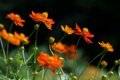 Картинка лето, трава, цветы, растения, желтые, оранжевые