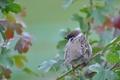 Картинка листья, птица, ветка, перья, воробей, хвост