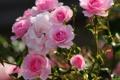 Картинка листья, розовая, роза, лепестки, цветение