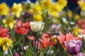 Картинка фокус, весна, тюльпаны, солнечно, много, разные, нарциссы