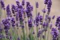 Картинка фиолетовый, цветы, природа, flowers