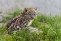 Картинка ©Tambako The Jaguar, трава, котёнок, снежный барс, детеныш, ирбис, кошка