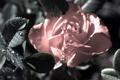 Картинка капли, цветок, роза, листья, розовая