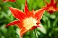 Картинка цветок, цветы, красный, яркий, тюльпан, весна, тюльпаны