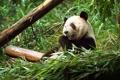 Картинка лес, листья, медведь, панда, Китай, зоопарк, Чунцин