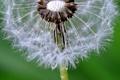 Картинка цветок, вода, капли, роса, одуванчик, былинка