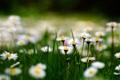 Картинка поле, трава, ромашки, белые